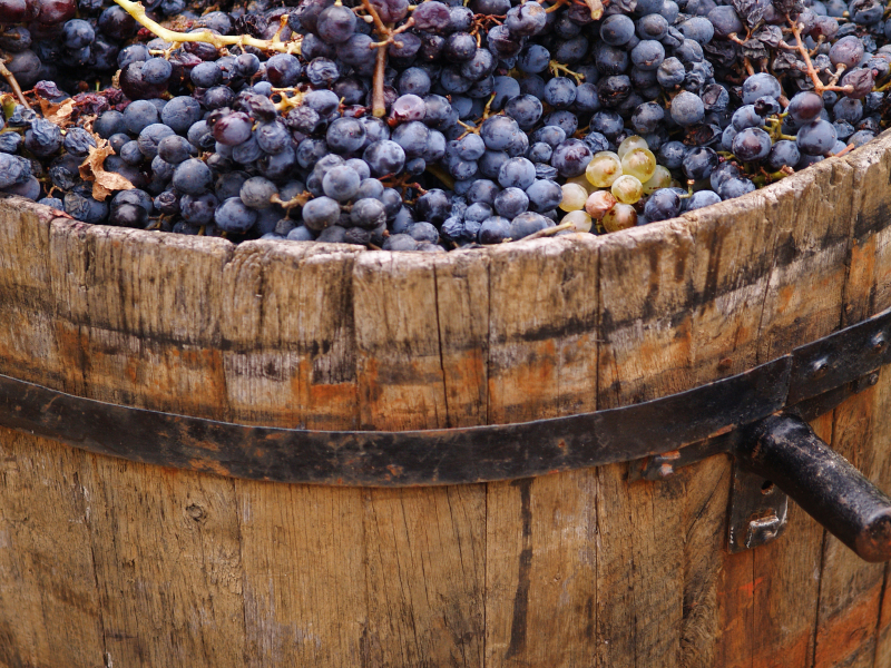 Harvesting grapes: grapes inside a bucket.
